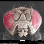 Drosophila head x120-colorized