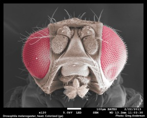 Colorized fly head