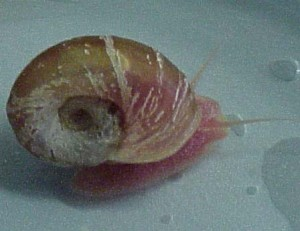 The pond snail, Helisoma trivolvis, used in Dr. Kleckner's research program.