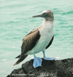 blue-footed boobie - Tuneles