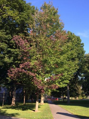 Acer platinoides 'Schwedler maple'