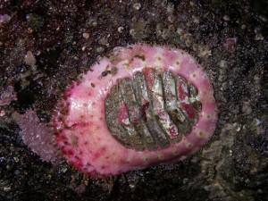 the veiled chiton Placiphorella velata