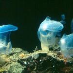 Marine Organism of the Week