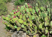 prickly pear1