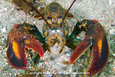 Larvae of American Lobsters will be negatively impacted by ocean acidification