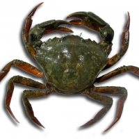 The Green Crab, Carcinus maenas L.