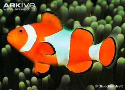 Clownfish were largely unaffected by acidification, even growing faster at high levels of carbon dioxide in the water.
