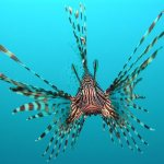 Invasive Crabs and Lionfish