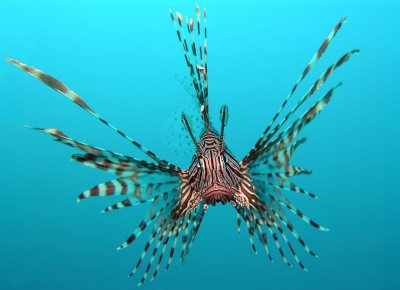 Lionfish were introduced from aquaria into the Atlantic Ocean in Florida in the 1980s, and have since become dominant in the southeastern US and Caribbean. Photo from en.wikipedia.org