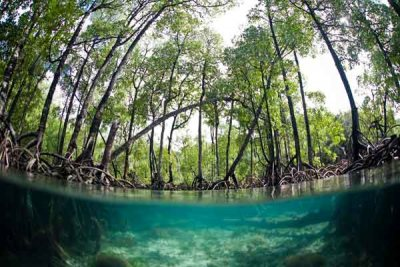 Mangroves in Papua New Guinea. Photo from blog.nature.org.