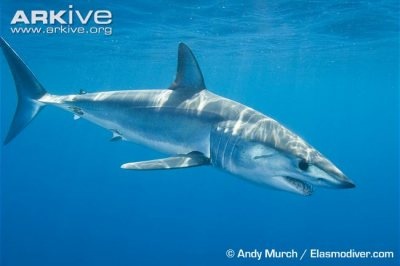 Shortfin mako sharks are fished for shark fin soup.