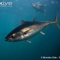 Overfishing of Bluefin Tuna and Sharks