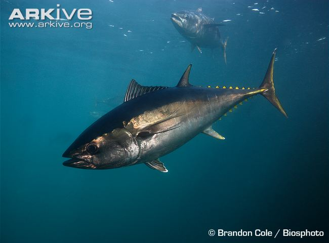The Bluefin Tuna Population Has Dropped 97 Percent Due to Overfishing, Report Says