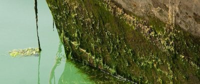Fouling macroalgae on a boat hull. Photo from invasives.org.au.