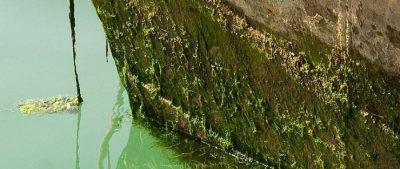 Fouling macroalgae on a boat hull. Photo from invasives.org.au.