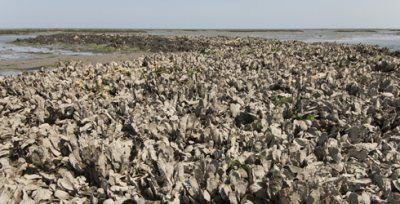 Oysters in the Chesapeake Bay have been depleted by overfishing. Population growth is limited by disease and sedimentation. Photo credit Mark Godfrey © 2009