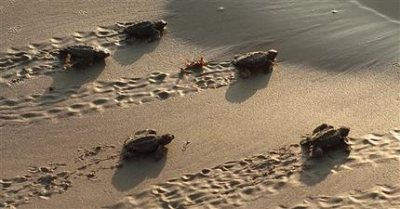 Newly hatched juvenile Ridley sea turtles. Photo from phys.org