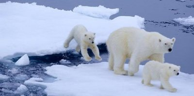 Polar bears are threatened by fragmentation of sea ice which could restrict their movements.