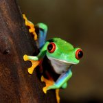 Red-eye frog (Agalychnis callidryas)