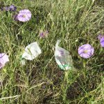 Bagged_Ipomoea_Flowers