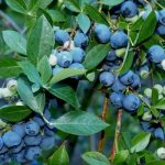 Common blueberry, Vaccinnium
