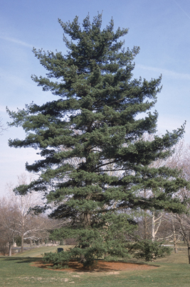 Plant blogs bio 117 white pine biology bates college for Mature pine trees