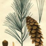 Plant Blogs – Bio 117 – White Pine