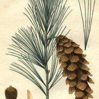 Plant Blogs – Bio 117 – White Pine