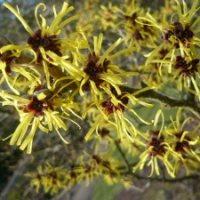 Plant Blogs – Bio 117 – Witch Hazel