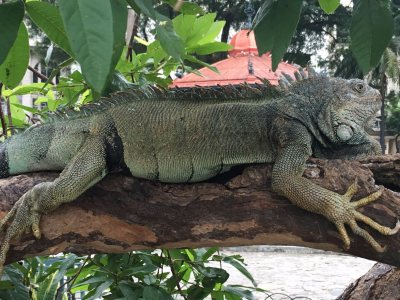 Brown land iguana in Guayaquil