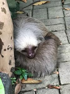 Sloth at Parque Histórico de Guayaquil
