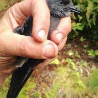Biology professor links decline of storm petrel's hatching success to climate change