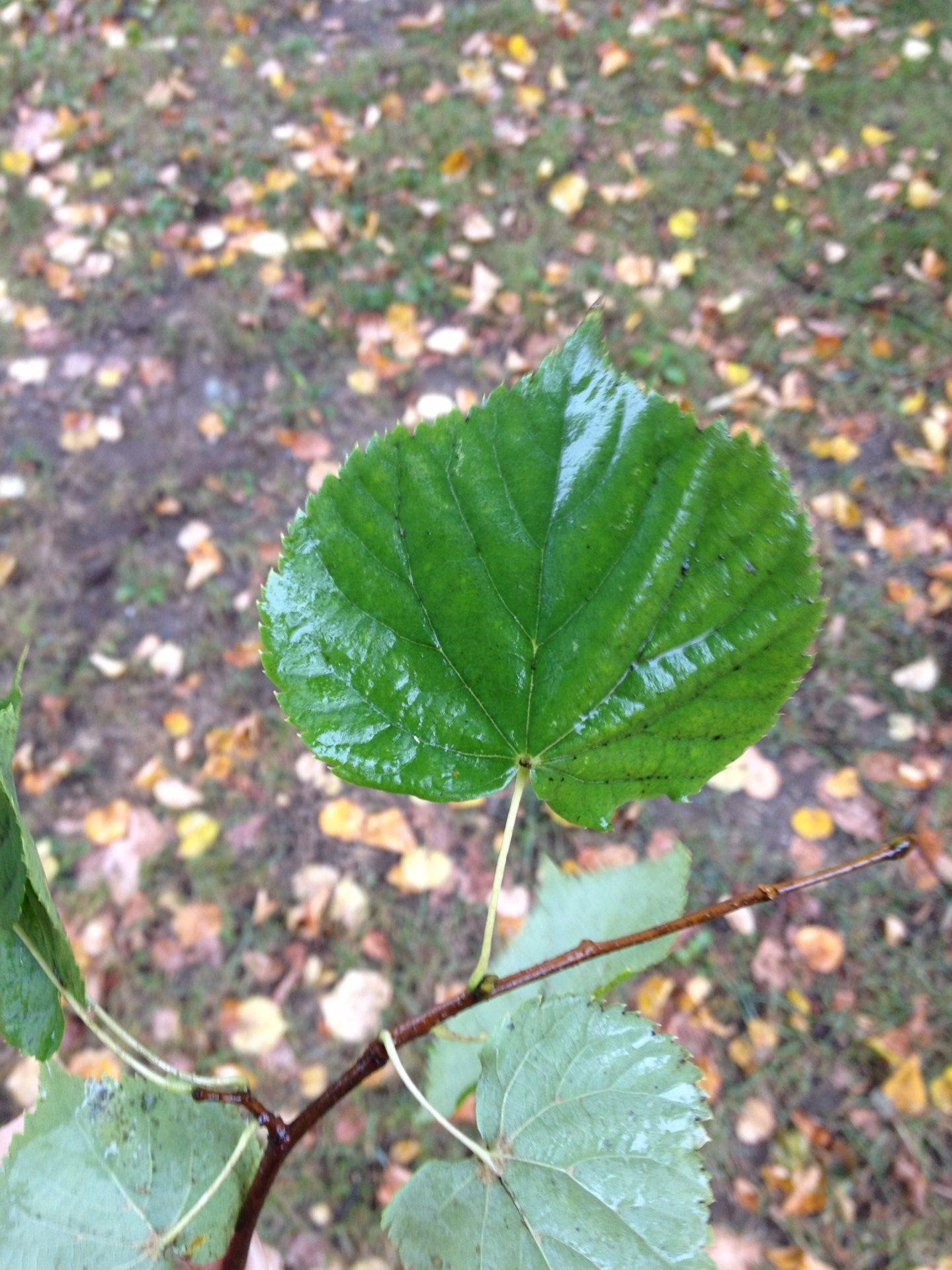 Little-leaf Linden | Bates Canopy | Bates College