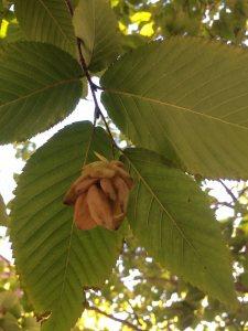 Eastern Hophornbeam fruit