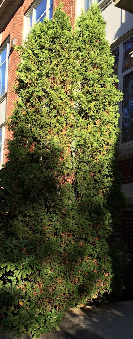 Northern White Cedar ~ Northern white cedar bates canopy college