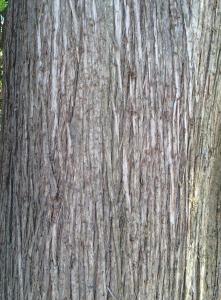 Northern White Cedar bark