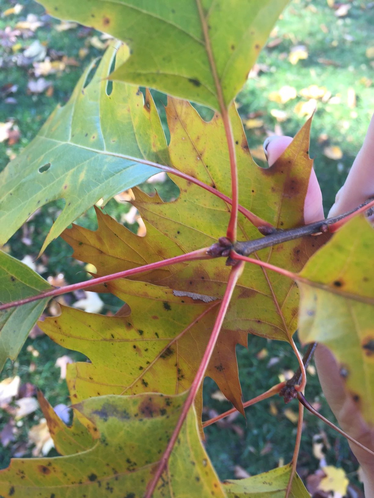 Northern Red Oak | Bates Canopy | Bates College