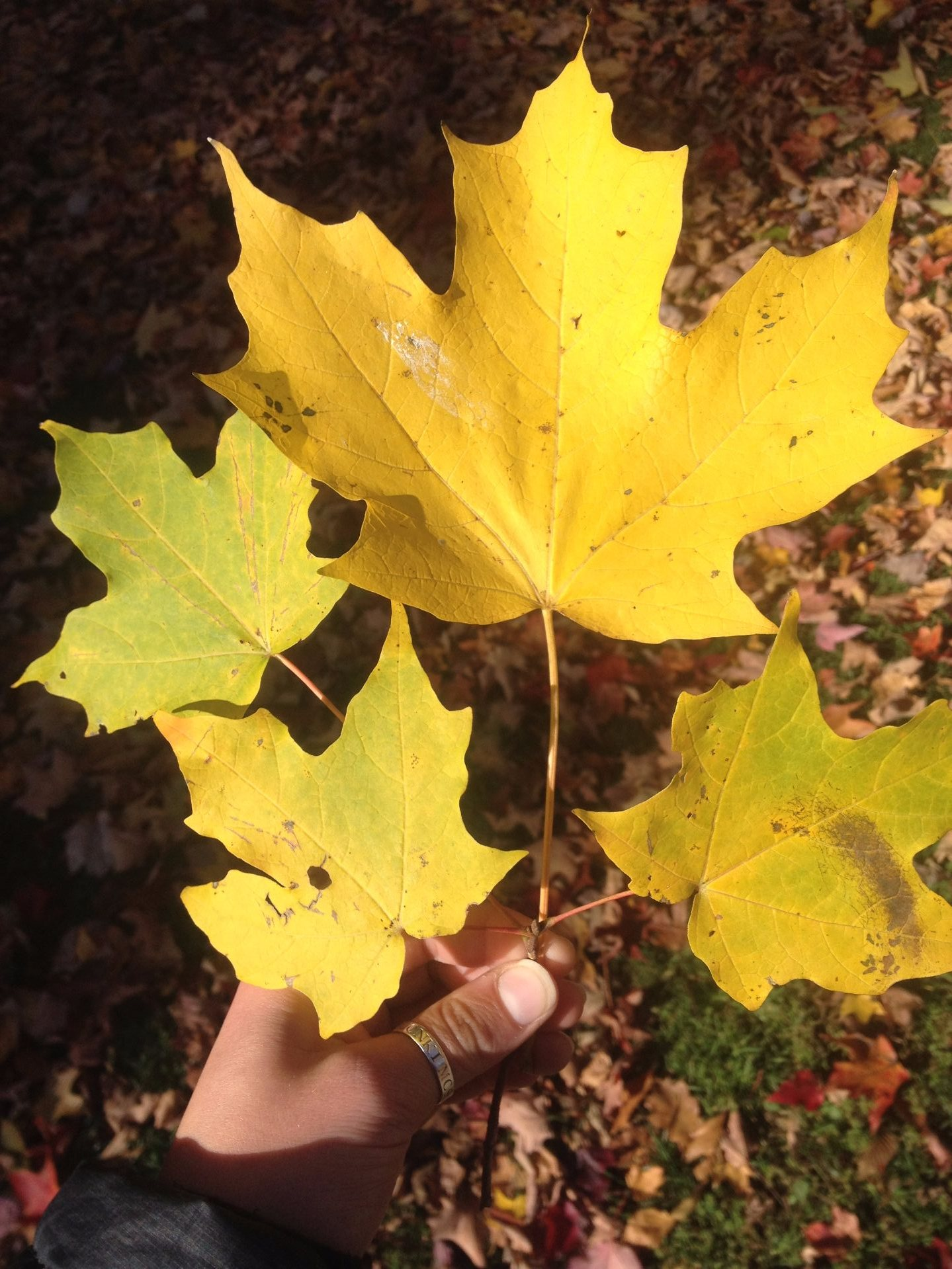 Sugar Maple | Bates Canopy | Bates College