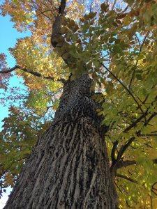 White Ash bark
