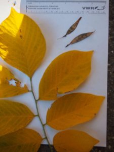 Yellowwood leaves and seeds