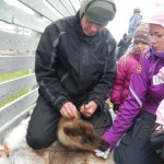 Isak and Sara Buljo marking the ear of a newborn calf.