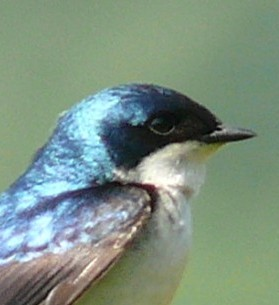 Tree_Swallow-27527-3_cropped