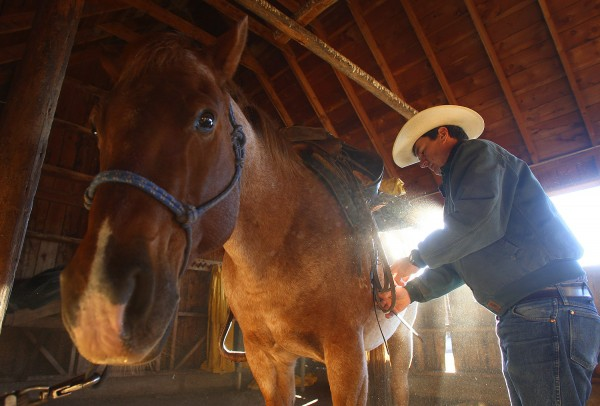 Bill Burleigh readies Newt for the morning ride. Photograph by Shauna Stephenson.