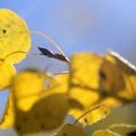 By September, aspen leaves begin their yearly change at the Laramie River Dude Ranch. Photograph by Shauna Stephenson.