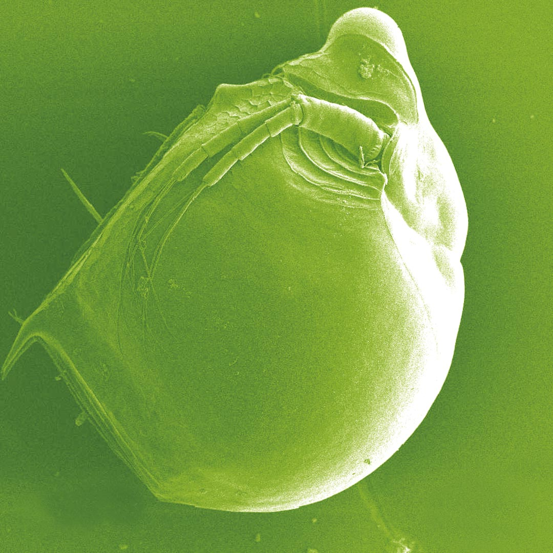 Say hello to the genus Daphnia, also known as a water flea — though they're not insects but crustaceans, magnified 130 times.