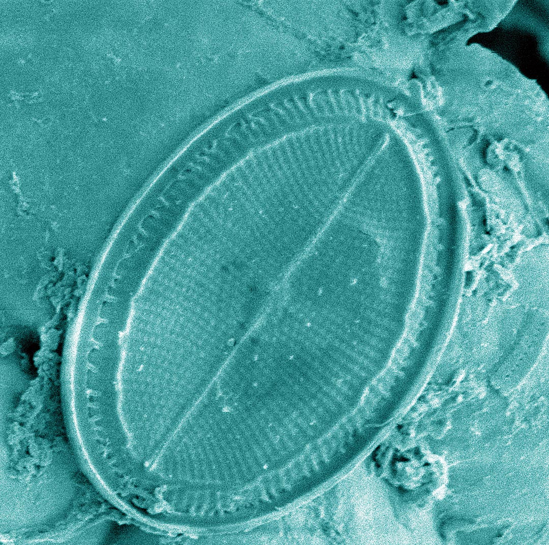 Time for a diatom, from a group of algae, magnified 2,300 times.