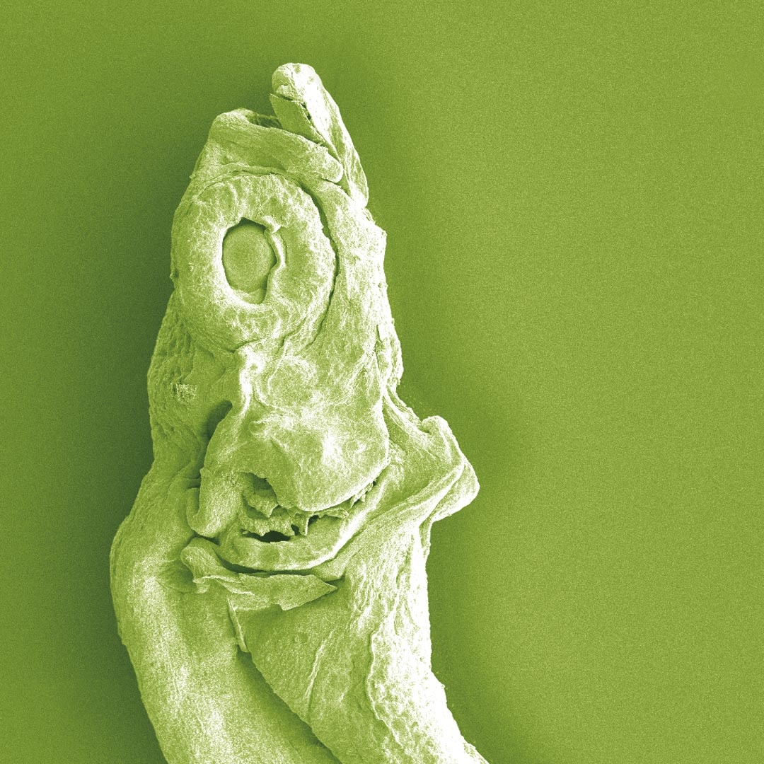 A fish larvae magnified 300 times.