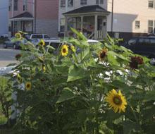 l2g_sunflowers_web