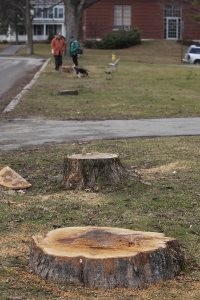 Stumps along Andrews Road. (Phyllis Graber Jensen/Bates College)