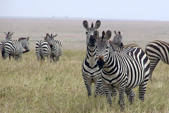 5-eby_zebra